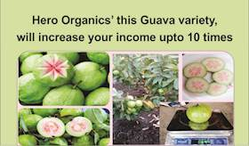 Hero Organics' this Guava variety, will increase your income upto 10 times