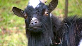 Artificial Insemination in Bengal goats to conserve valuable goat germplasm