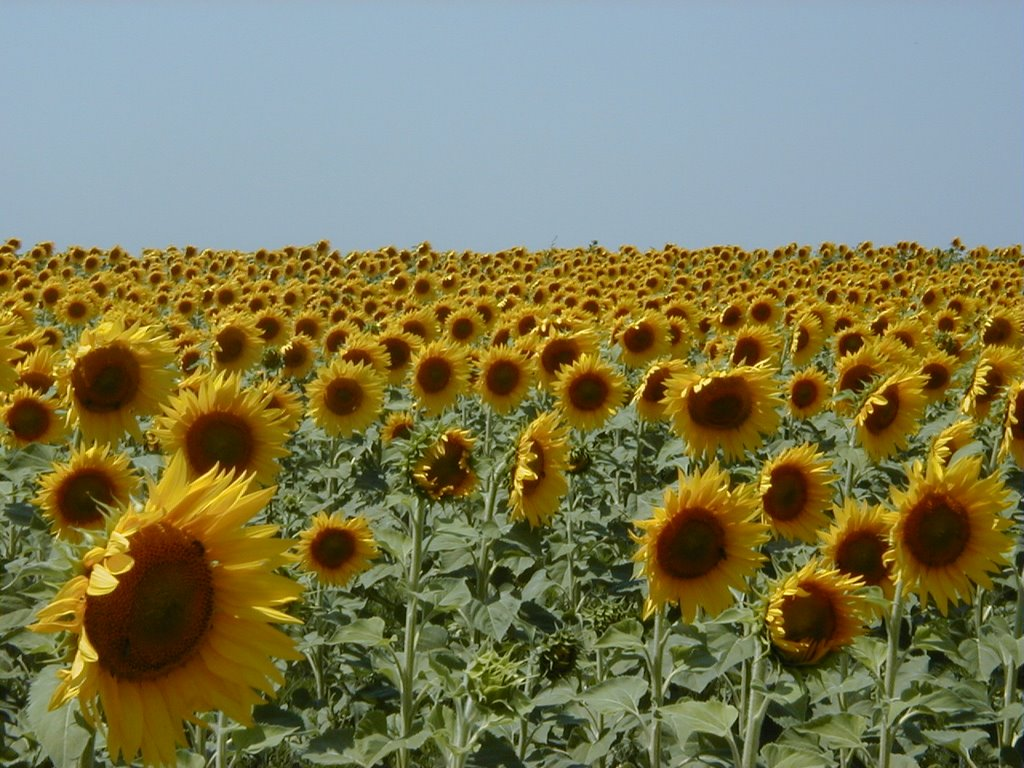 Haryana Govt to start centres for Sunflower procurement