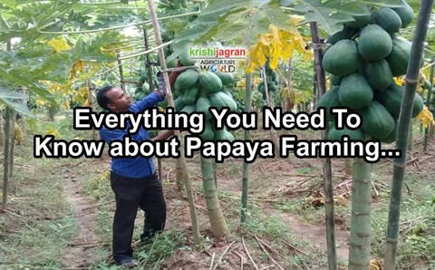 How to Grow Papaya from Seed? Sowing Technique, Climate & Soil Required for Papaya Farming; Best Planting Season, Protection & Disease Management