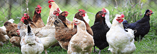 success stories in poultry farming